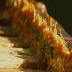 Propolis ,kit pszczeli na wagę, wysoka jakość, Propolis,