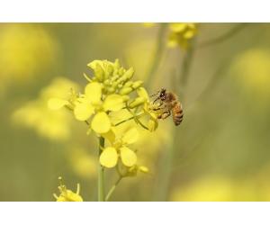 Wiosenne menu, czyli czym pszczoły zajadają się wiosną